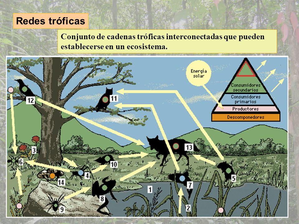 Redes tróficasConjunto de cadenas tróficas interconectadas que pueden establecerse en un ecosistema.