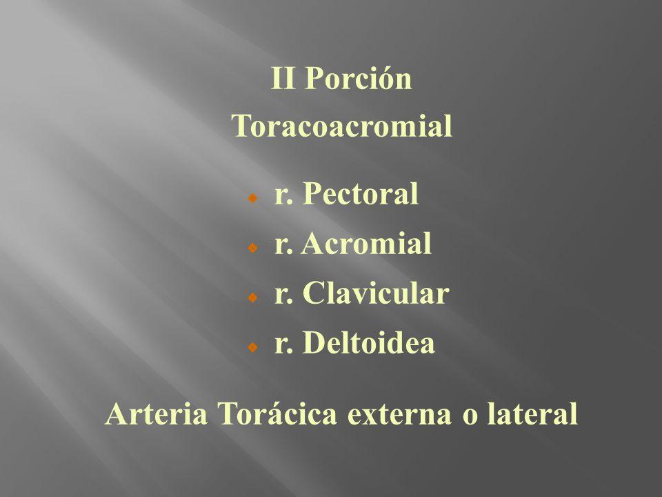 Arteria Torácica externa o lateral