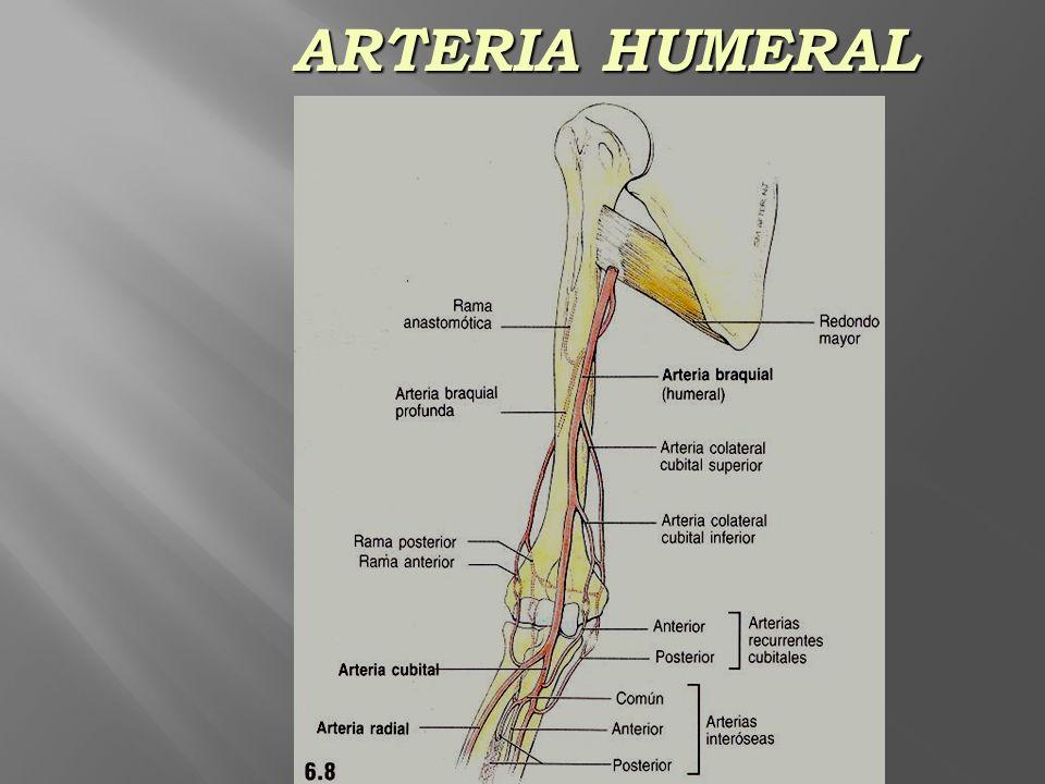 ARTERIA HUMERAL