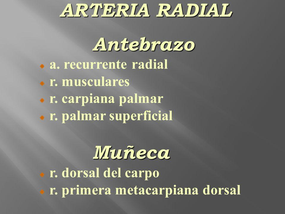 ARTERIA RADIAL Antebrazo Muñeca a. recurrente radial r. musculares