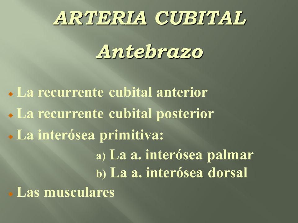 ARTERIA CUBITAL Antebrazo La recurrente cubital anterior