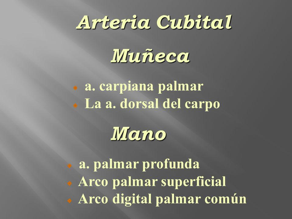 Arteria Cubital Muñeca Mano a. carpiana palmar La a. dorsal del carpo