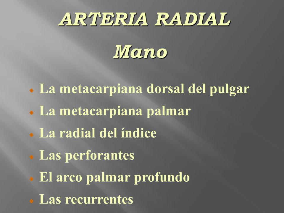 ARTERIA RADIAL Mano La metacarpiana dorsal del pulgar