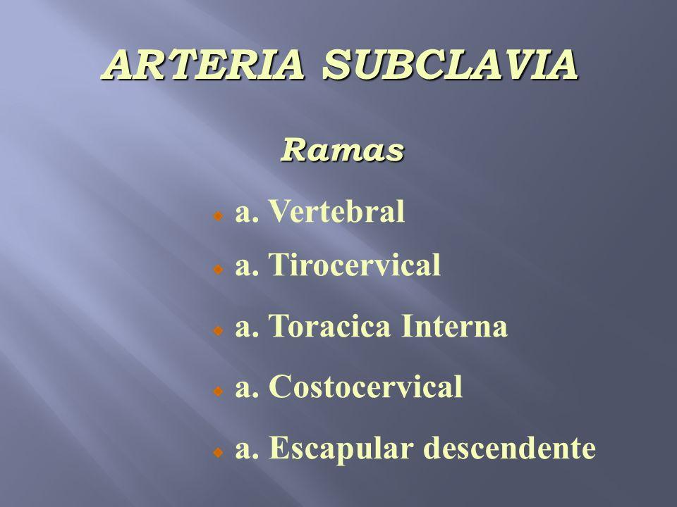 ARTERIA SUBCLAVIA Ramas a. Vertebral a. Tirocervical