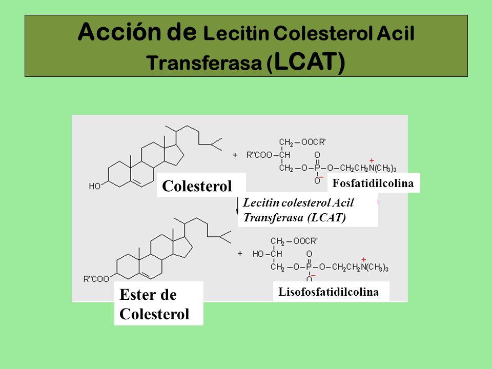 Acción de Lecitin Colesterol Acil Transferasa (LCAT)