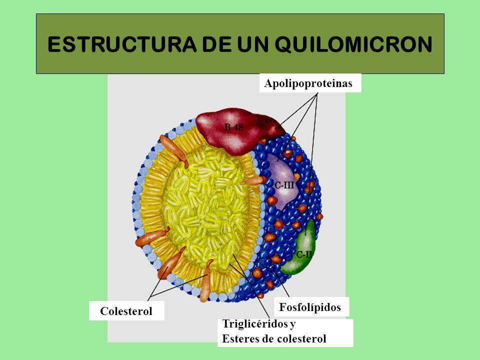 ESTRUCTURA DE UN QUILOMICRON