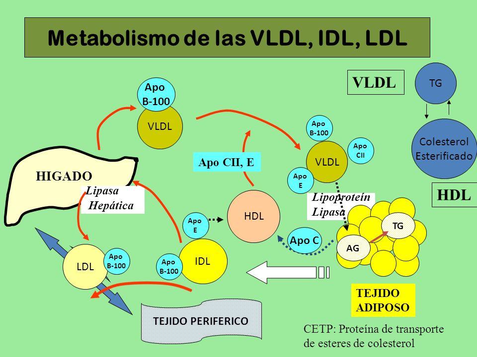 Metabolismo de las VLDL, IDL, LDL