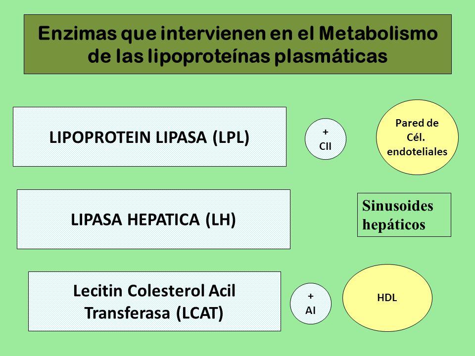 LIPOPROTEIN LIPASA (LPL) Lecitin Colesterol Acil Transferasa (LCAT)