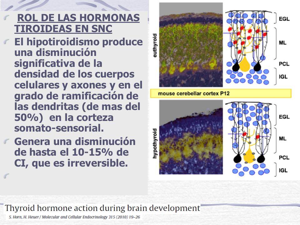 ROL DE LAS HORMONAS TIROIDEAS EN SNC