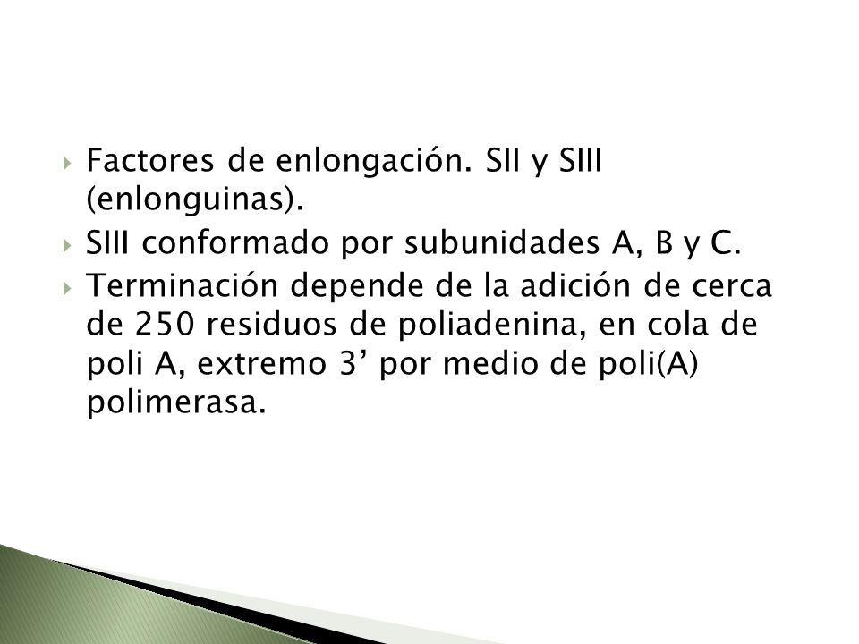 Factores de enlongación. SII y SIII (enlonguinas).