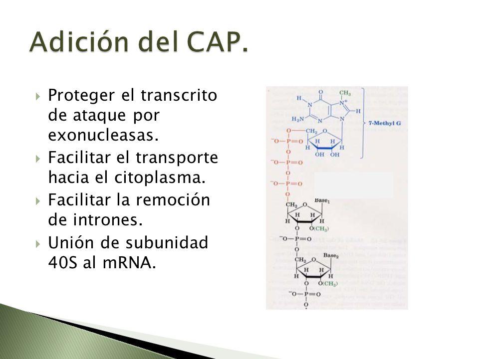 Adición del CAP. Proteger el transcrito de ataque por exonucleasas.