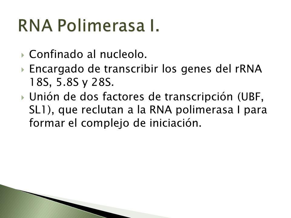 RNA Polimerasa I. Confinado al nucleolo.