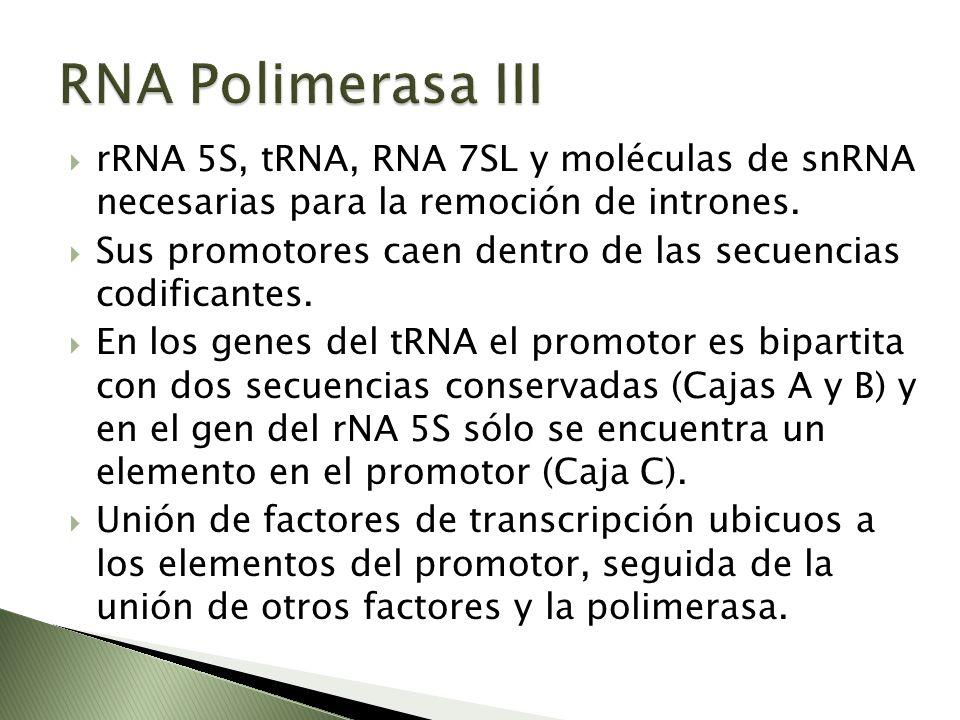 RNA Polimerasa III rRNA 5S, tRNA, RNA 7SL y moléculas de snRNA necesarias para la remoción de intrones.