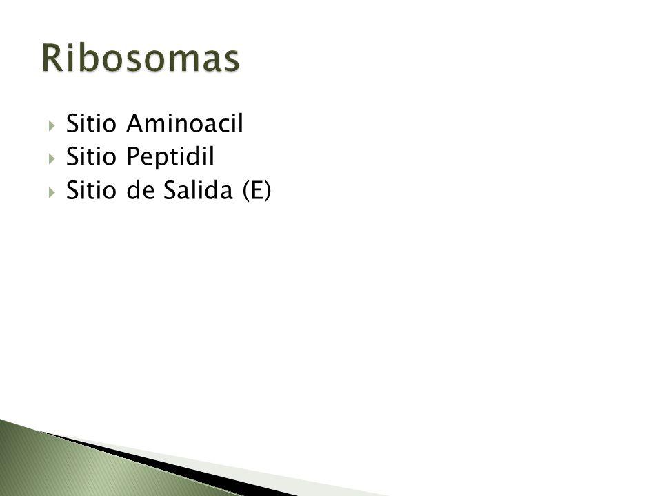 Ribosomas Sitio Aminoacil Sitio Peptidil Sitio de Salida (E)