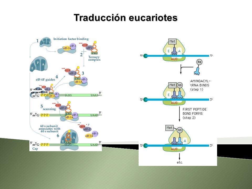 Traducción eucariotes