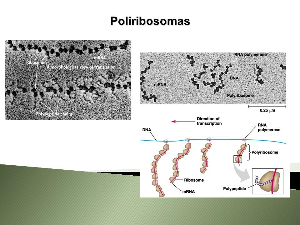 Poliribosomas