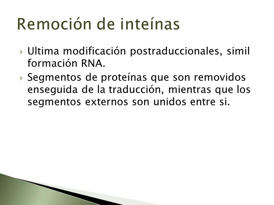 Remoción de inteínas Ultima modificación postraduccionales, simil formación RNA.