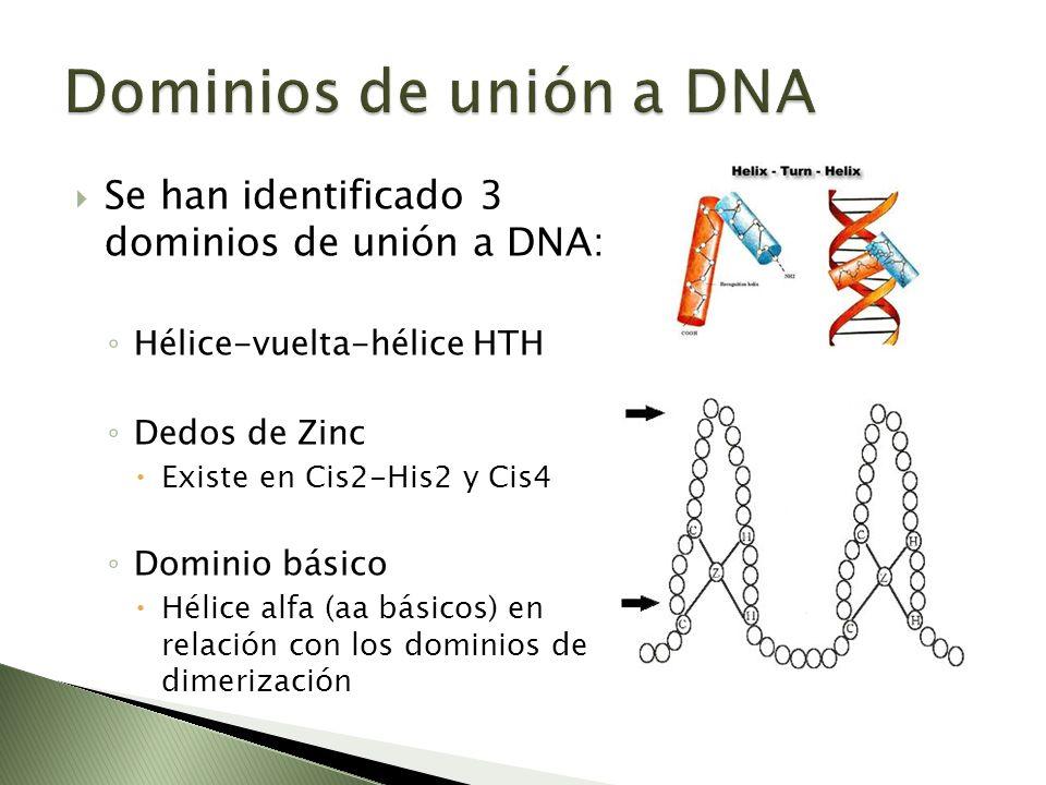 Dominios de unión a DNA Se han identificado 3 dominios de unión a DNA: