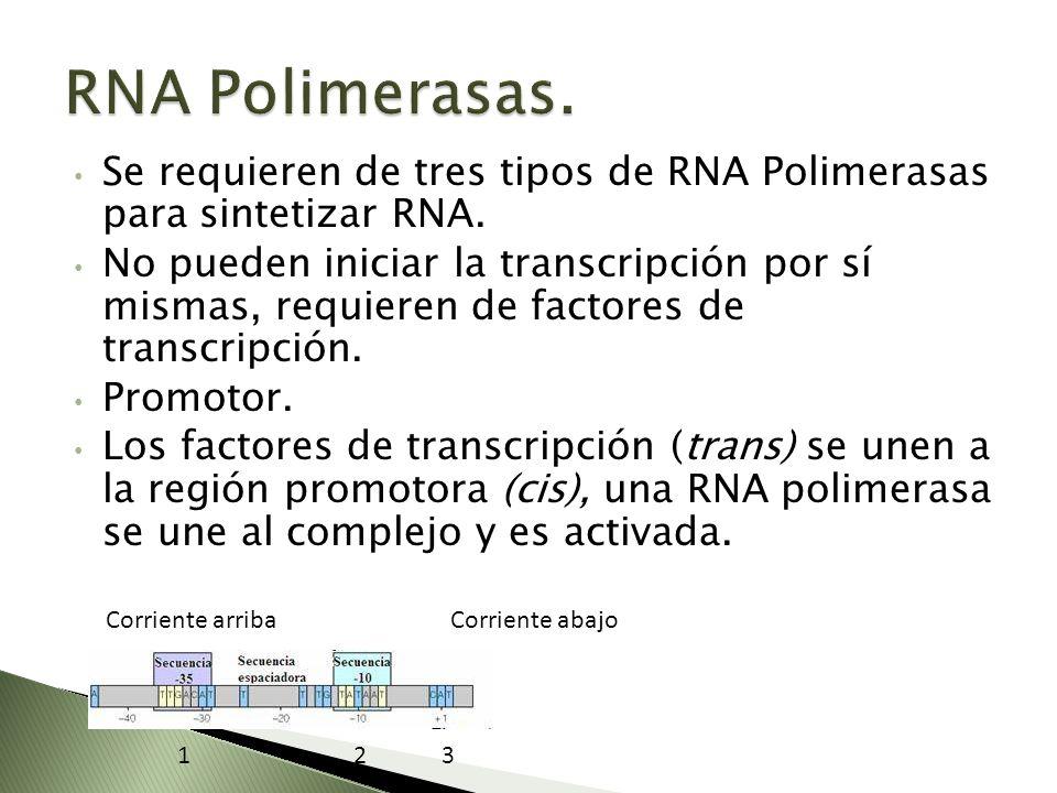 RNA Polimerasas. Se requieren de tres tipos de RNA Polimerasas para sintetizar RNA.