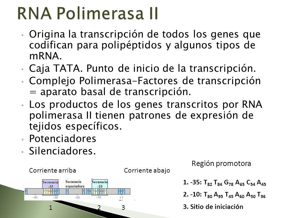 RNA Polimerasa II Origina la transcripción de todos los genes que codifican para polipéptidos y algunos tipos de mRNA.