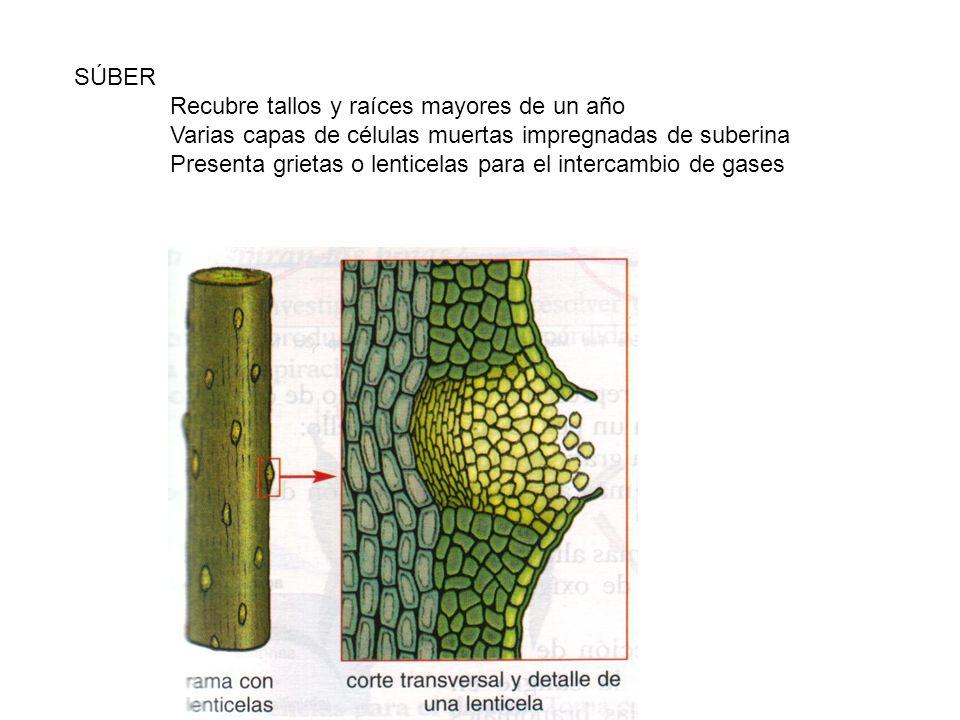 SÚBER Recubre tallos y raíces mayores de un año. Varias capas de células muertas impregnadas de suberina.