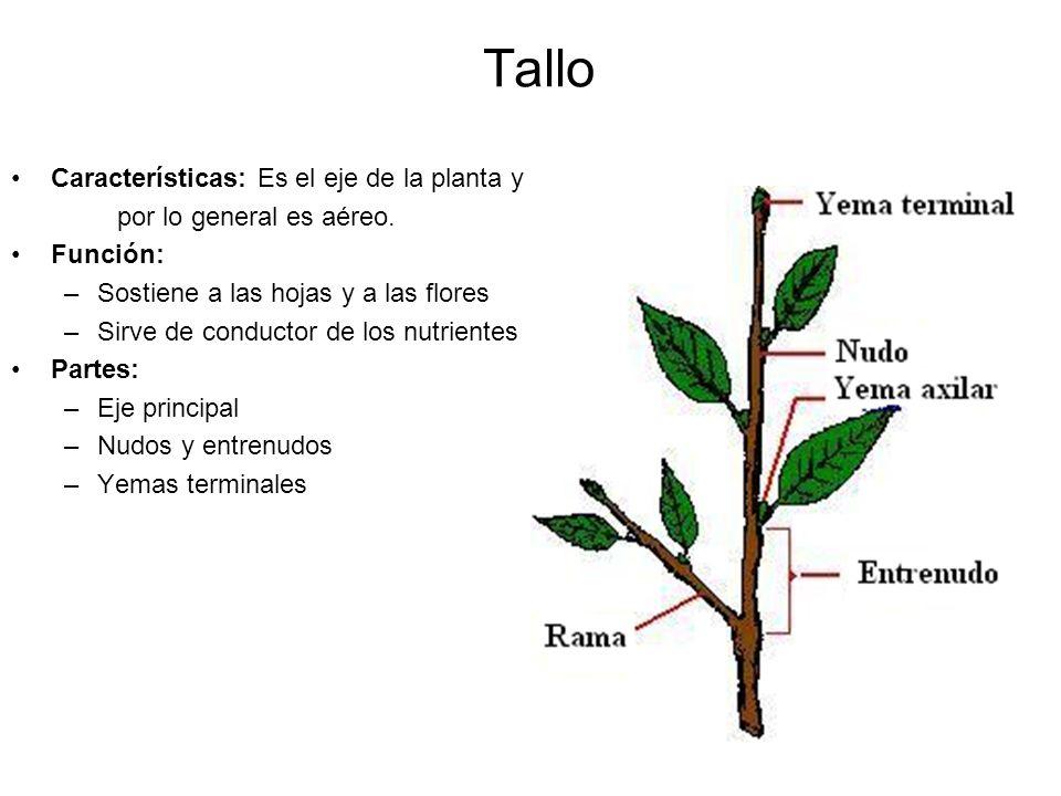 Tallo Características: Es el eje de la planta y
