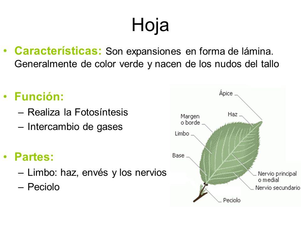 Hoja Características: Son expansiones en forma de lámina. Generalmente de color verde y nacen de los nudos del tallo.