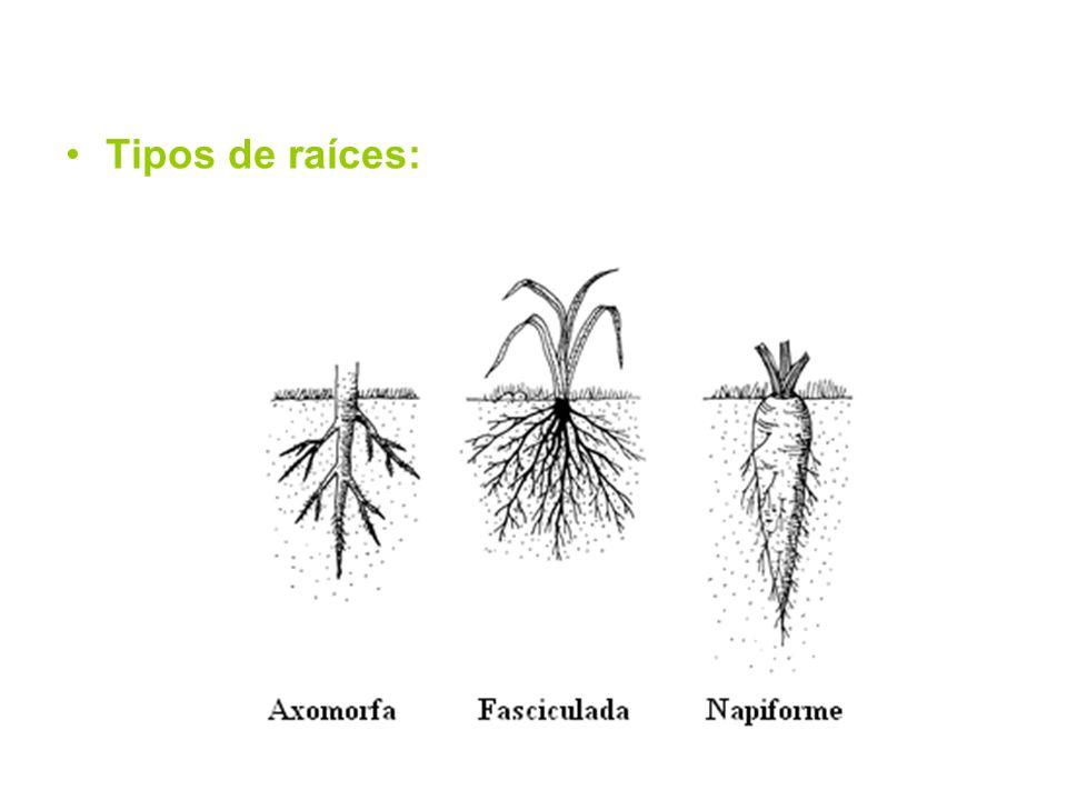 Tipos de raíces: