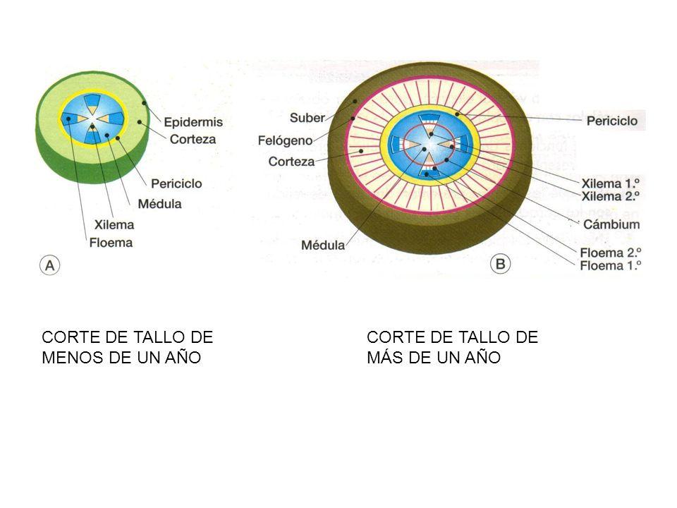 CORTE DE TALLO DE MENOS DE UN AÑO