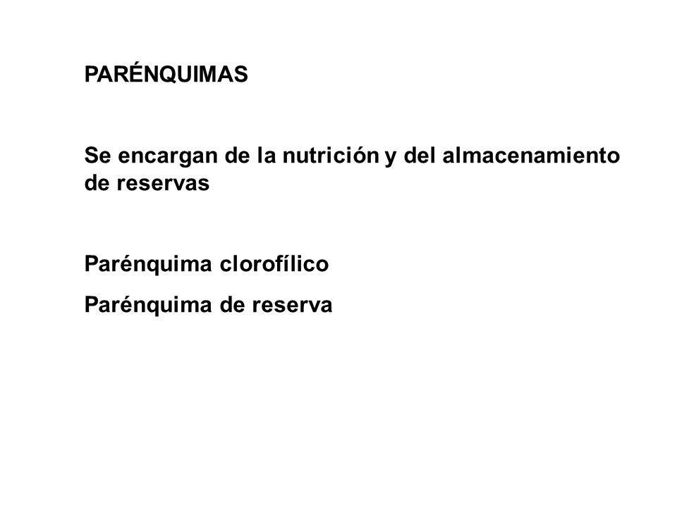 PARÉNQUIMAS Se encargan de la nutrición y del almacenamiento de reservas.