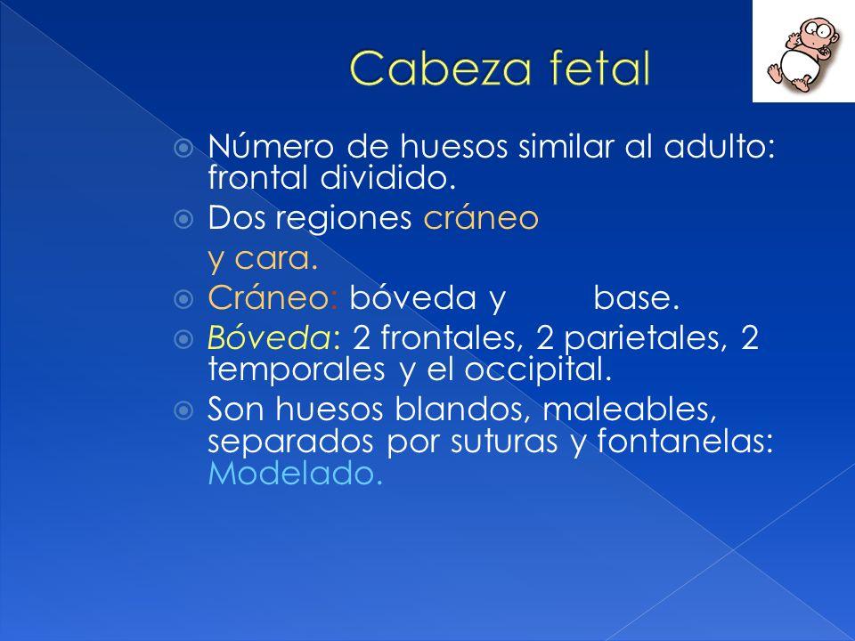 Cabeza fetal Número de huesos similar al adulto: frontal dividido.