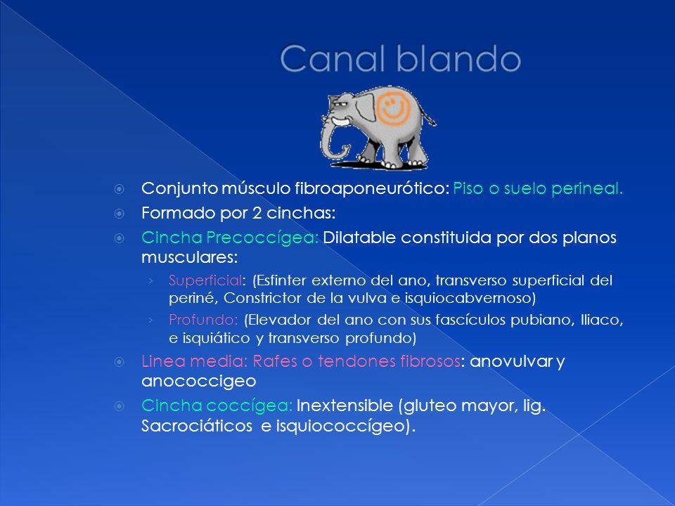 Canal blando Conjunto músculo fibroaponeurótico: Piso o suelo perineal. Formado por 2 cinchas: