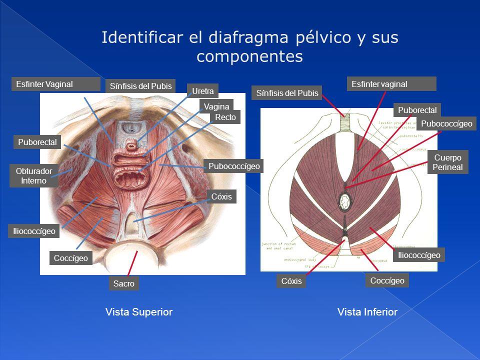 Identificar el diafragma pélvico y sus componentes