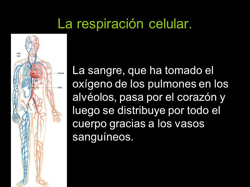 La respiración celular.