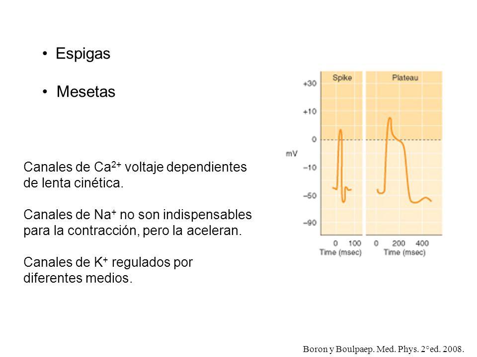 EspigasMesetas. Canales de Ca2+ voltaje dependientes de lenta cinética. Canales de Na+ no son indispensables para la contracción, pero la aceleran.