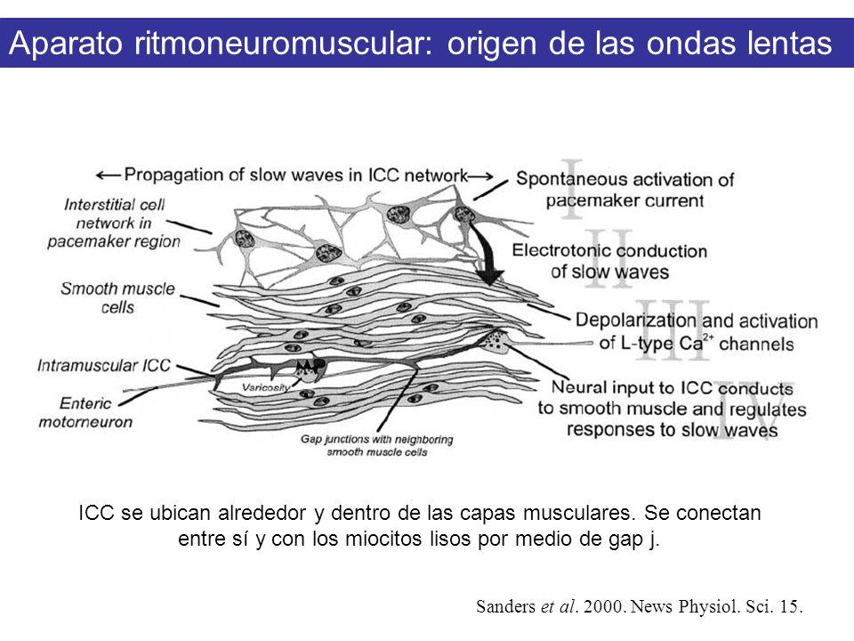 Aparato ritmoneuromuscular: origen de las ondas lentas