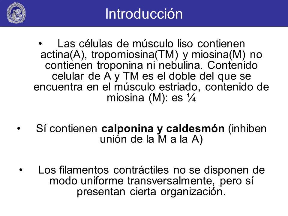Sí contienen calponina y caldesmón (inhiben unión de la M a la A)