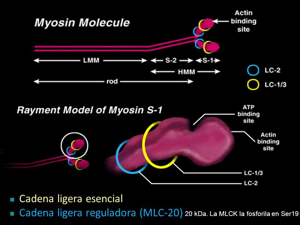 Cadena ligera esencial Cadena ligera reguladora (MLC-20)