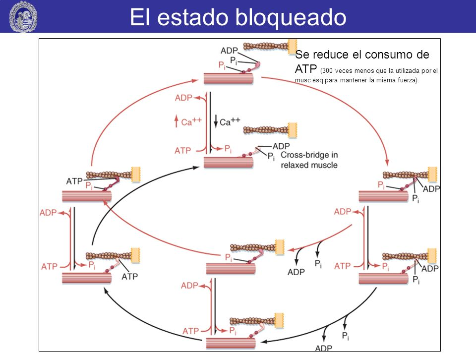 El estado bloqueadoSe reduce el consumo de ATP (300 veces menos que la utilizada por el musc esq para mantener la misma fuerza).