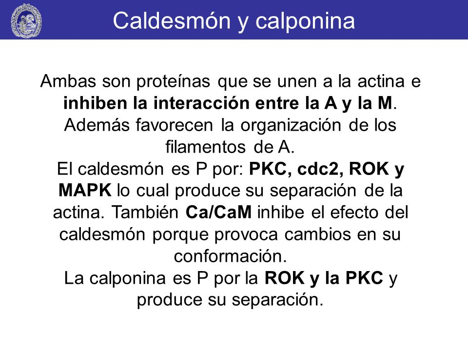 La calponina es P por la ROK y la PKC y produce su separación.