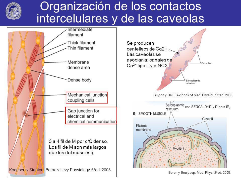 Organización de los contactos intercelulares y de las caveolas