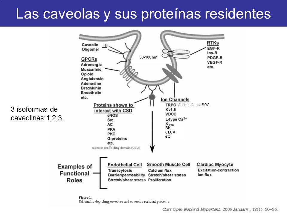 Las caveolas y sus proteínas residentes