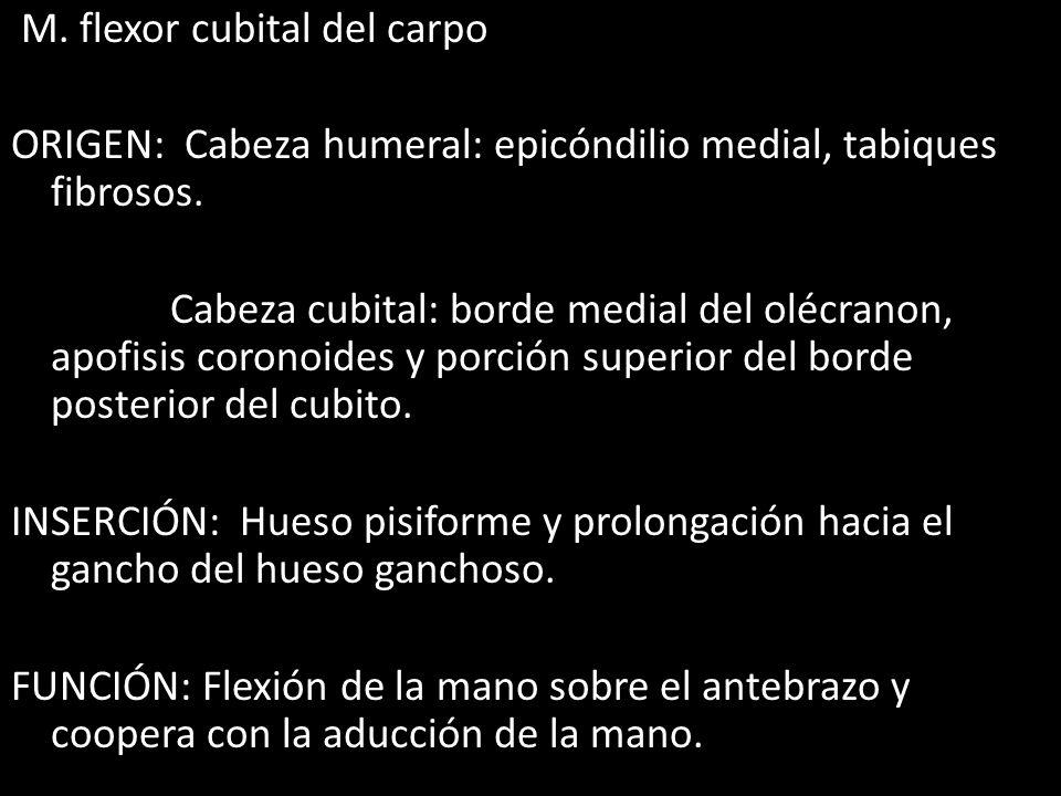 M. flexor cubital del carpo ORIGEN: Cabeza humeral: epicóndilio medial, tabiques fibrosos.