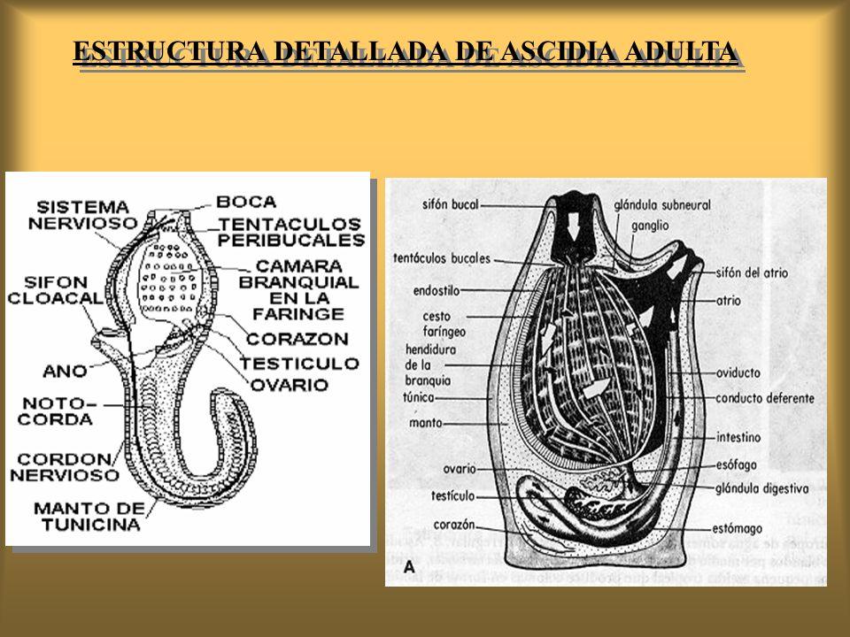 ESTRUCTURA DETALLADA DE ASCIDIA ADULTA