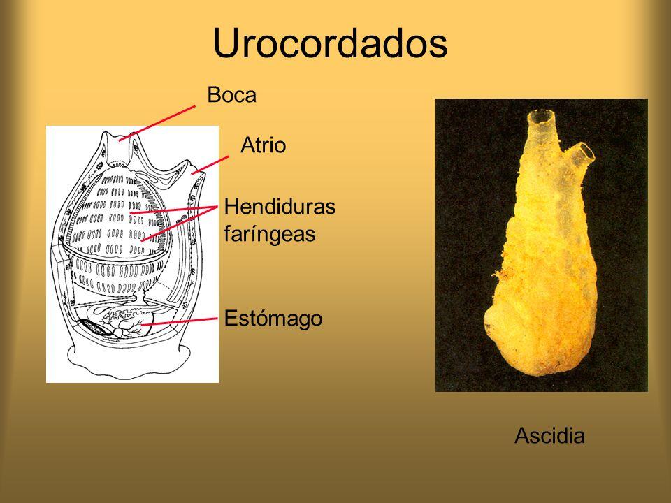 Urocordados Boca Atrio Hendiduras faríngeas Estómago Ascidia