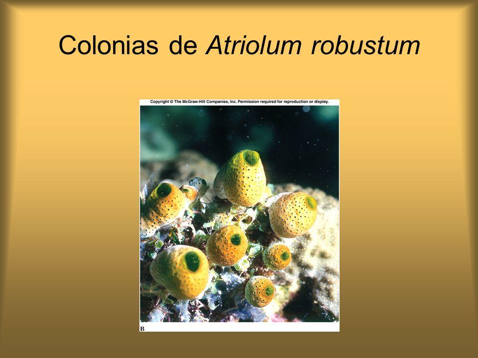 Colonias de Atriolum robustum