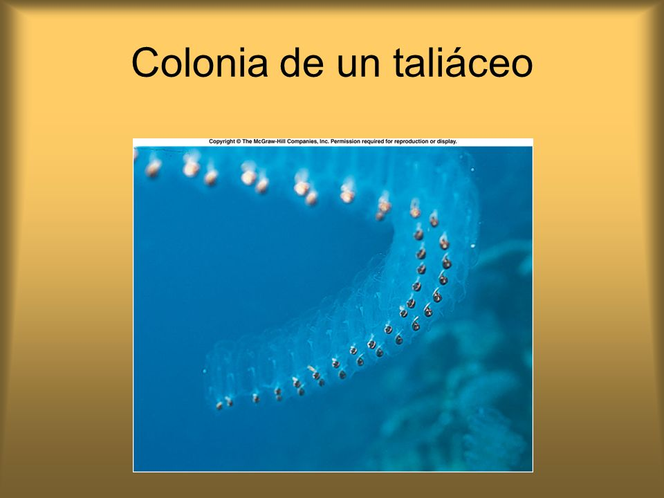 Colonia de un taliáceo