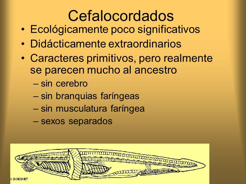 Cefalocordados Ecológicamente poco significativos