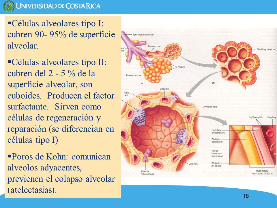 Células alveolares tipo I: cubren 90- 95% de superficie alveolar.