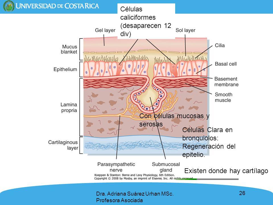 Células caliciformes (desaparecen 12 div)